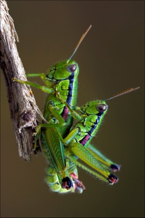 close up of two grasshopper Orthopterous having sex on a piece of branch in the bush Stock Photo - 18727687