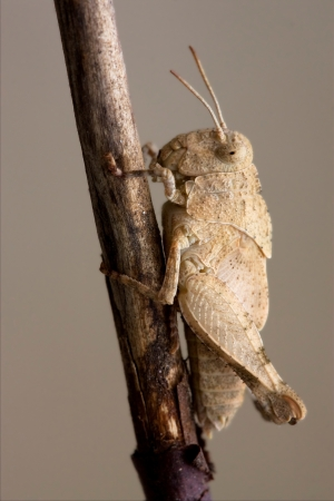 brown  grasshopper Orthopterous in a brown sprig Stock Photo - 18784396