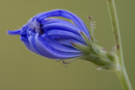 close up of a blue composite  cichorium intybus pumilium flower photo