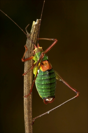 chorthippus: close up of grasshopper Orthopterous Tettigoniidae on a piece of branch in the bush