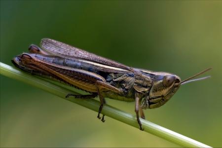 chorthippus: brown  grasshopper chorthippus brunneus in a green sprig  Stock Photo
