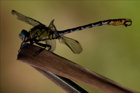 imperator: side of  wild  yellow black dragonfly on a wood leaf