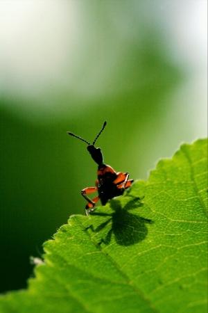 carabidae: wild red carabidae on a flower having sex
