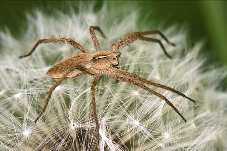 recluse: Pisauridae pisaura mirabilis Agelenidae tegenaria gigantea Thomisidae tibellus oblungus Thomisidae heteropodidae heteropods Sicariidae Mediterranean recluse spider misumena vatia