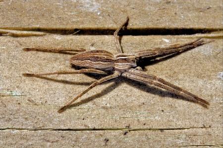 vatia: Pisauridae pisaura mirabilis Agelenidae tegenaria gigantea Thomisidae tibellus oblungus Thomisidae heteropodidae heteropods Sicariidae Mediterranean recluse spider misumena vatia