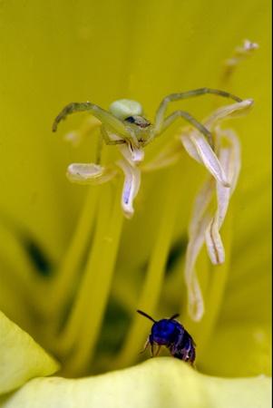 recluse: flower web Pisauridae pisaura mirabilis Agelenidae tegenaria gigantea Thomisidae tibellus oblungus Thomisidae heteropodidae heteropods Sicariidae Mediterranean recluse spider misumena vatia Stock Photo