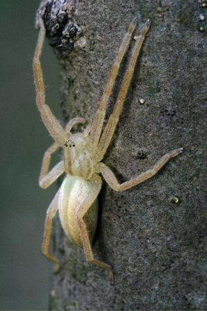 pisauridae: Pisauridae pisaura mirabilis Agelenidae tegenaria gigantea Thomisidae tibellus oblungus Thomisidae heteropodidae heteropods Sicariidae Mediterranean recluse spider misumena vatia