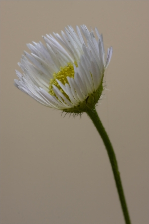macro close up of a yellow white daisy composite chamomilla in background  photo