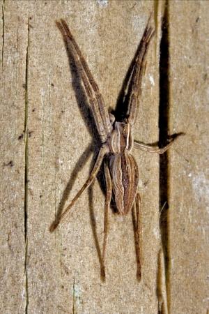 mirabilis: Pisauridae pisaura mirabilis Agelenidae Tegenaria gigantea Thomisidae tibellus oblungus Thomisidae heteropodidae heteropods Sicariidae Loxosceles rufescens Misumena vatia