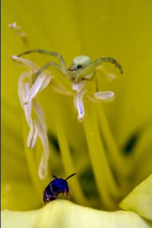 flower web pisauridae pisaura mirabilis agelenidae tegenaria gigantea thomisidae tibellus oblungus thomisidae heteropodidae heteropods sicariidae loxosceles rufescens misumena vatia Stock Photo - 19259417