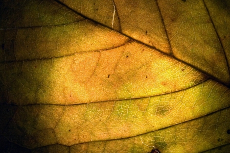 macro close up abstract of a green yellow  leaf and his veins in the light background photo