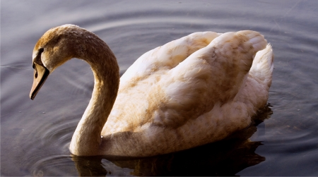 beck: side of little white swan    black eye in the river ticino italy Stock Photo