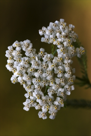 macro close up of a yellow white leguminose caprifoliacee viburnum lontana  sambucus nigra in brown background   photo