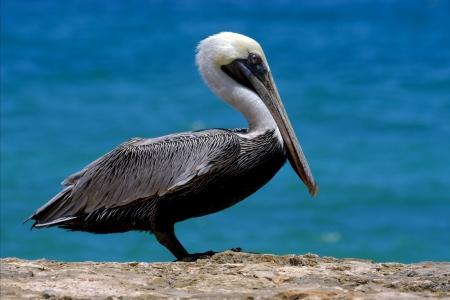 side of little white black pelican whit black eye in rock republica dominicana la romana  Stock Photo