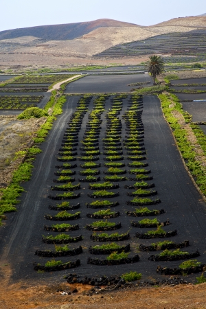 lanzarote spain la geria vine screw grapes wall crops  cultivation viticulture winery,  photo