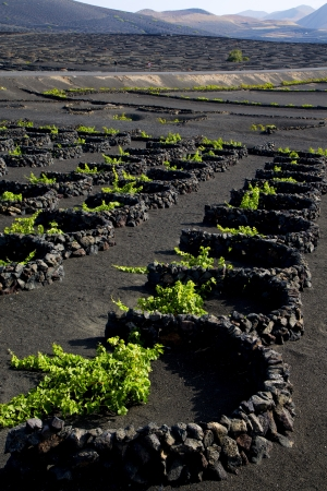 Lanzarote Espagne La Geria vigne vis raisins mur cultures culture vinicole viticulture, Banque d'images