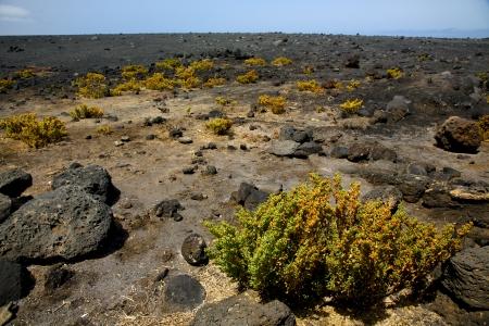 timanfaya: plant flower  bush timanfaya  in los volcanes volcanic rock stone sky  hill and summer  lanzarote spain
