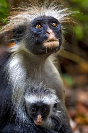 an hairy monkey and her puppy in africa zanzibar jozany forest  Stock Photo