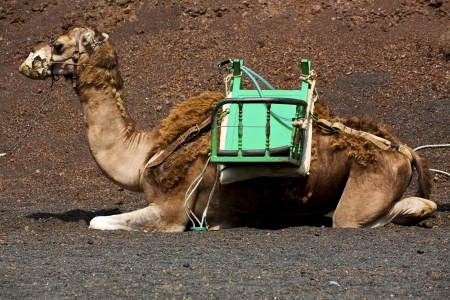 brown dromedary bite in the volcanic timanfaya lanzarote spain africa  photo