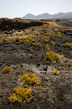 volcan: plant flower  bush timanfaya  in los volcanes volcanic rock stone sky  hill and summer  lanzarote spain