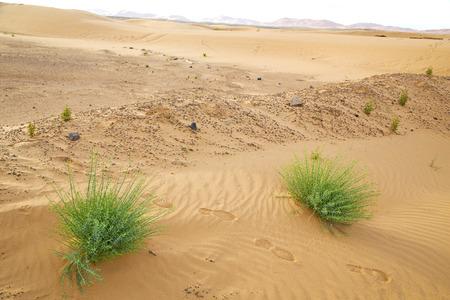 palm in the  desert oasi morocco sahara africa dune photo