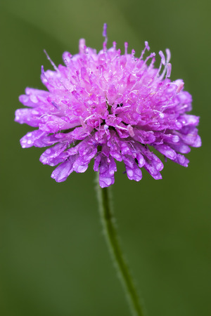 mentha: flor violeta dispsacacea labiate Mentha aquatica scabioso
