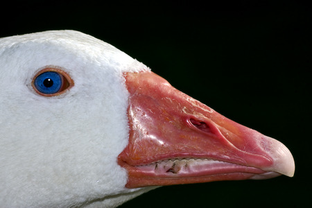 aires: a white duck whit blue eye in buenos aires argentina