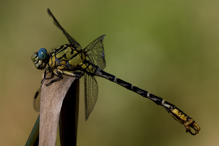 imperator: wild black yellow dragonfly anax imperator on a wood leaf  in the bush Stock Photo