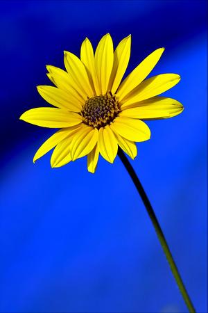 senecio: yellow flower buphtalmum salicifolium composite inuloides inula  salicina senecio eurucifolius jacobaea erraticus delphinifolius