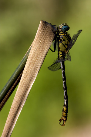 imperator: side of  wild  yellow black dragonfly anax imperator on a wood leaf  in the bush
