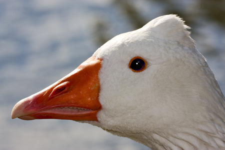 aires: a white  duck whit black eye in buenos aires argentina