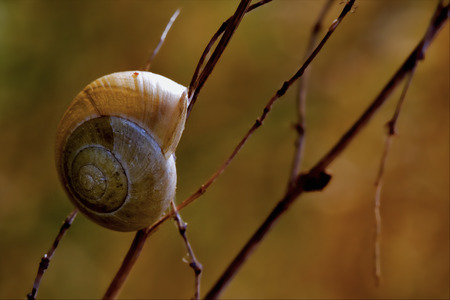 gastropoda: side of wild brown snail gastropoda  phyla minori on a brown branch  in the bush