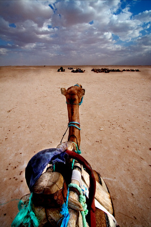 saddle camel: A camel in the desert of tunisia