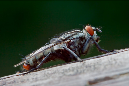 diptera: close up of wild fly  diptera calliphoridae calliphpora vicina  pollenia rydis  on a grey tree  in the bush Stock Photo