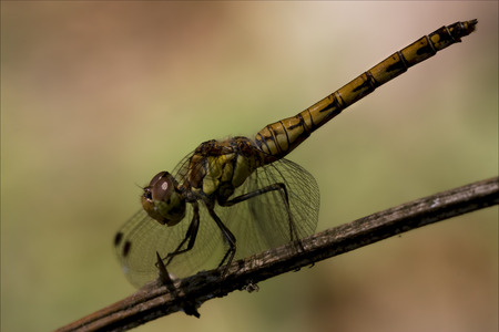 libellulidae: side of wild  yellow black dragonfly on a wood branch  in the bush