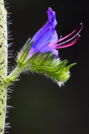 prunella: violet flower Prunella Vulgaris labiate  Prunella grandiflora glechoma hederacea  glechoma hirsuta in the black