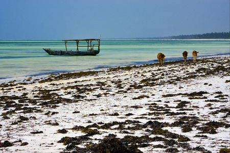 zanzibar: seaweed and cows in tanzania zanzibar Editorial
