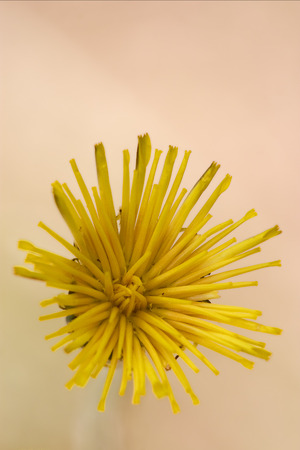 fabaceae: macro of a yellow  flower in brown