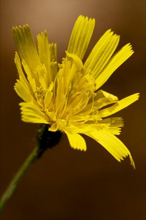 hieracium: yellow flower  leontodon autumnalis composite leontodon hispidus hieracium sylvaticum Stock Photo