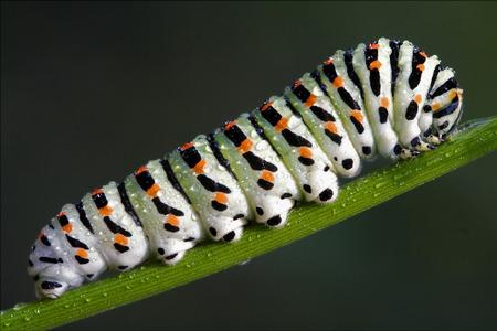 finocchio: bruco di Papilionidae nella finocchio testa