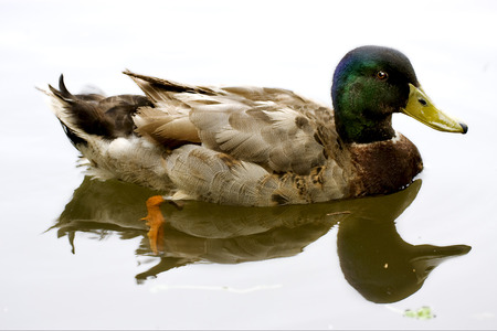 beack: a reflex of the duck in  a lake