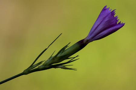 giardino: wild violet carnation  epilobium parviflorum hirstum sylvestris Stock Photo