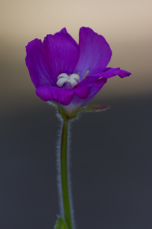 Clavel violeta silvestre epilobium parviflorum hirstum sylvestris Foto de archivo - 41037635