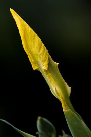 Amarilla iris pseudacorus en el negro Foto de archivo - 41036566