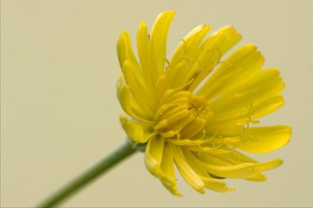 hieracium: Hieracium Sylvaticum yellow in the gold