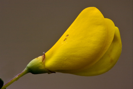 fabaceae: Ginestra Dei Carbonai ,Cytisus Scoparius,Fabaceae,Citso Scopario,Sarothamnus Scoparius