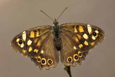 giardino: brown butterfly in brown rear in a tree