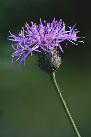 centaurea: centaurea scabiosa jacea composite violet flower Stock Photo