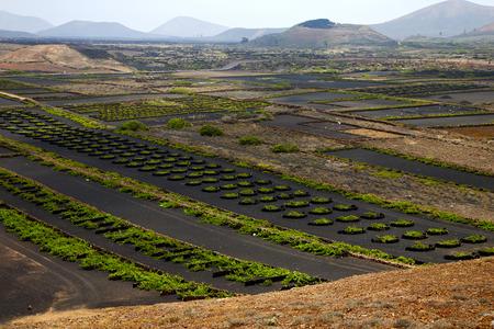 viticulture: cultivation home viticulture  winery lanzarote spain la geria vine screw grapes wall crops  barrel
