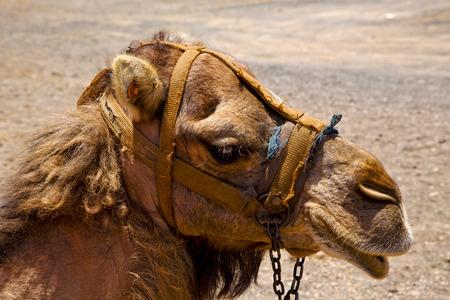 saddle camel: africa brown dromedary bite in the volcanic timanfaya lanzarote spain